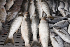 Fresh mullet Royalty Free Stock Photos