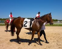 A young racehorse being walked after a race at tampa Stock Images