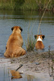 Cooling Off. Boxer and Bull Mastiff dog sitting on the shore line of a pond on a hot summer day stock images