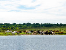 Cooling Off. A collection of ponies and cows cool off at Whitten Pond in the New Forest National Park Royalty Free Stock Photo