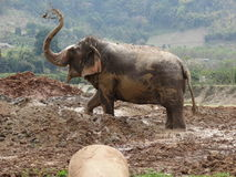 Cooling off in the midday heat. Asian Elephant cooling off in a mudbath Stock Photo