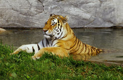 Cooling tiger Stock Photography
