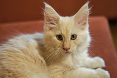 coon γατάκι Maine Στοκ εικόνες με δικαίωμα ελεύθερης χρήσης