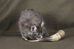 coon γατάκι Maine Στοκ Εικόνα
