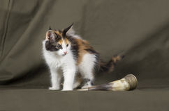 coon γατάκι Maine Στοκ Εικόνες