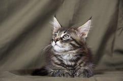 coon γατάκι Maine Στοκ Φωτογραφία