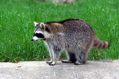 Coon. A racoon stand on grassland Royalty Free Stock Photos
