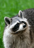 coon Stock Photos