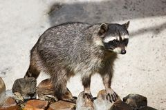 Coon. Pet raccoon among the rocks Stock Images