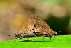 Coon butterfly. Of thailand insect background Royalty Free Stock Photography