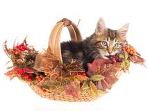 Coon de Maine en cesta del otoño de la caída Foto de archivo libre de regalías