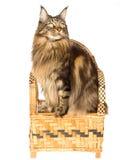 Coon de Maine que se sienta en la silla de bambú Fotografía de archivo