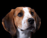 Coon Hound Close Up of Face Royalty Free Stock Image