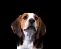 Coon Hound Looking Towards Royalty Free Stock Photos