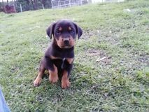 Coon Hound Pup Stock Photos
