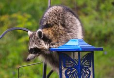 Coon Invader! A series of images. Close up of a hungry raccoon munching hungrily from a bird feeder Royalty Free Stock Photos