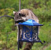 Coon Invader! A series of images. Close up of a hungry raccoon munching hungrily from a bird feeder Royalty Free Stock Images