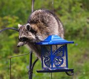 Coon Invader! A series of images. Close up of a hungry raccoon munching hungrily from a bird feeder Royalty Free Stock Photography