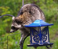 Coon Invader! A series of images. Close up of a hungry raccoon munching hungrily from a bird feeder Stock Images
