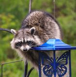 Coon Invader! A series of images. Close up of a hungry raccoon munching hungrily from a bird feeder Stock Photo