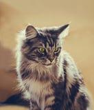 coon Maine Η μεγαλύτερη γάτα Πορτρέτο του γκρίζου μεγάλου κύριου coon γατών στο σπίτι Στοκ Φωτογραφία