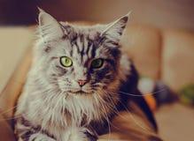 coon Maine Η μεγαλύτερη γάτα Πορτρέτο του γκρίζου μεγάλου κύριου coon γατών στο σπίτι Στοκ εικόνες με δικαίωμα ελεύθερης χρήσης