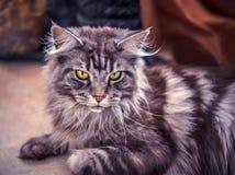 coon Maine Η μεγαλύτερη γάτα Πορτρέτο του γκρίζου μεγάλου κύριου coon γατών στο σπίτι Στοκ φωτογραφίες με δικαίωμα ελεύθερης χρήσης