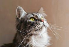 coon Maine Η μεγαλύτερη γάτα Πορτρέτο του γκρίζου μεγάλου κύριου coon γατών στο σπίτι Στοκ φωτογραφία με δικαίωμα ελεύθερης χρήσης