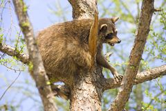 Coon predator mammal America spurs. Fur zoo Royalty Free Stock Photos