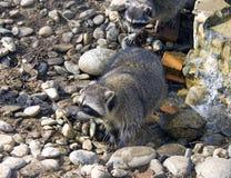 Coon predator mammal America spurs. Fur zoo Royalty Free Stock Image