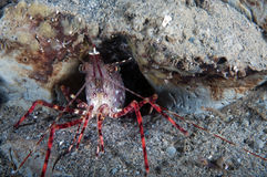 Coon Striped Shrimp Royalty Free Stock Photo