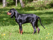 Coonhound Stock Photos