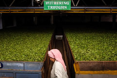Woman working on the tea factory stock photo