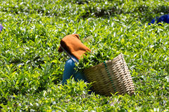 Coonoor , Tamil Nadu, India, March 22, 2015: Unidentified woman collect tea from plantation Stock Photography
