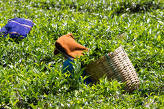 Coonoor , Tamil Nadu, India, March 22, 2015: Unidentified woman collect tea from plantation Royalty Free Stock Image