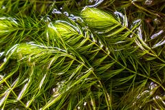 Coontail weed in water royalty free stock photography