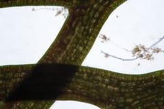 Coontails eller sötvattens- algCeratophyllum för hornworts vid mikroskopet Cellstruktur av alger och att trassla till vid urdjurs Arkivbild