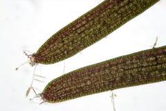 Coontails ou Ceratophyllum de água doce das algas dos hornworts pelo microscópio Estrutura de pilha das algas e de sujar pelo sup Imagem de Stock