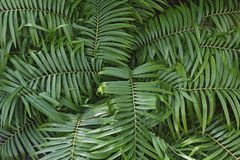 Coontie cycad leaves. Coontie Zamia pumila. Called Coontie palm also Royalty Free Stock Photography