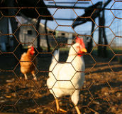 Cooped Up. Chicken wire keeps chicken cooped up Royalty Free Stock Photography