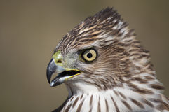 Cooper´s Hawk Stock Image