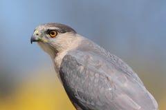 Cooperâs Falke (Accipiter cooperii) Stockfotos
