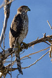 Cooper Hawk. Hawk looking right, perched in a tree Stock Photography