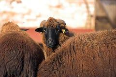 Cooper-red sheep stock photos