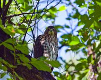 Cooper's Hawk. A wild Cooper's Hawk sitting in a tree in Prospect Park Colorado Royalty Free Stock Image