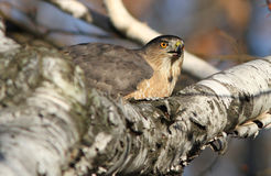 Cooper's hawk Stock Photography