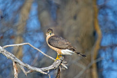 Cooper's Hawk Stock Photos