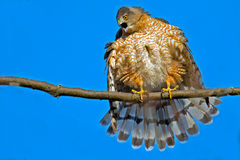 Cooper's Hawk Royalty Free Stock Photos