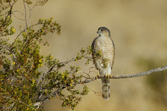 Cooper's Hawk. Front view of Cooper's Hawk looking left on creosote bush Royalty Free Stock Image