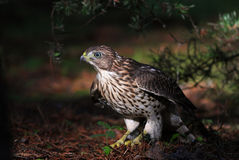 Cooper's hawk (Accipiter cooperii) Royalty Free Stock Photo